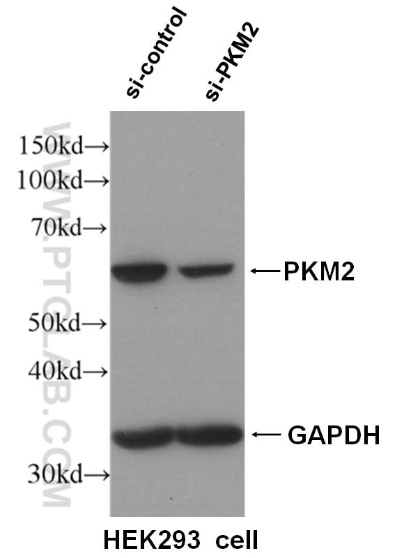 WB analysis of HEK-293 cells using 15822-1-AP