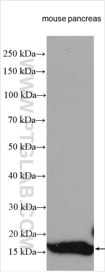 WB analysis using 15843-1-AP