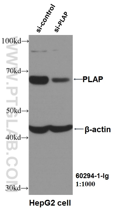 WB analysis of HepG2 using 60294-1-Ig