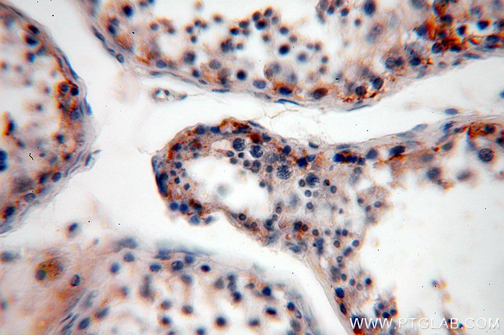 IHC staining of human testis using 12952-1-AP