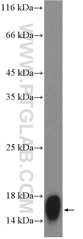 WB analysis of pig spinal cord using 12717-1-AP