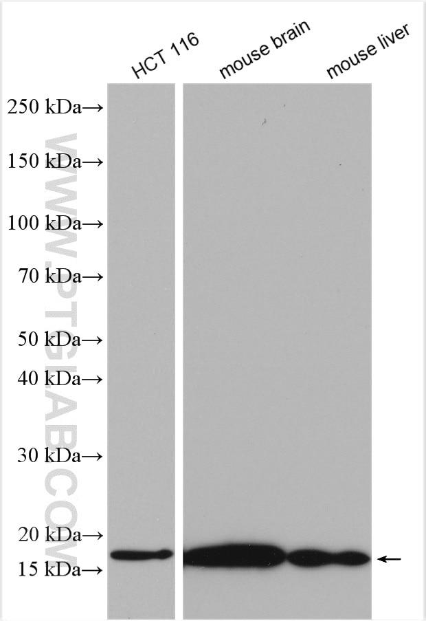 WB analysis using 15671-1-AP