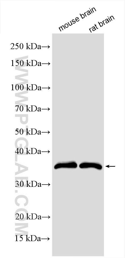 WB analysis using 55150-1-AP