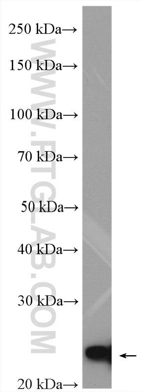 WB analysis of MCF-7 using 18476-1-AP