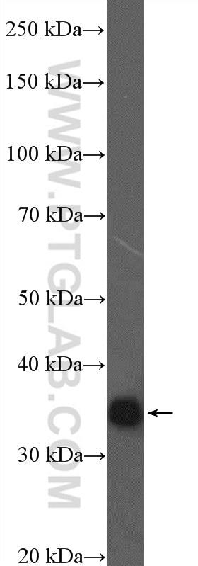 16264-1-AP;rat brain tissue