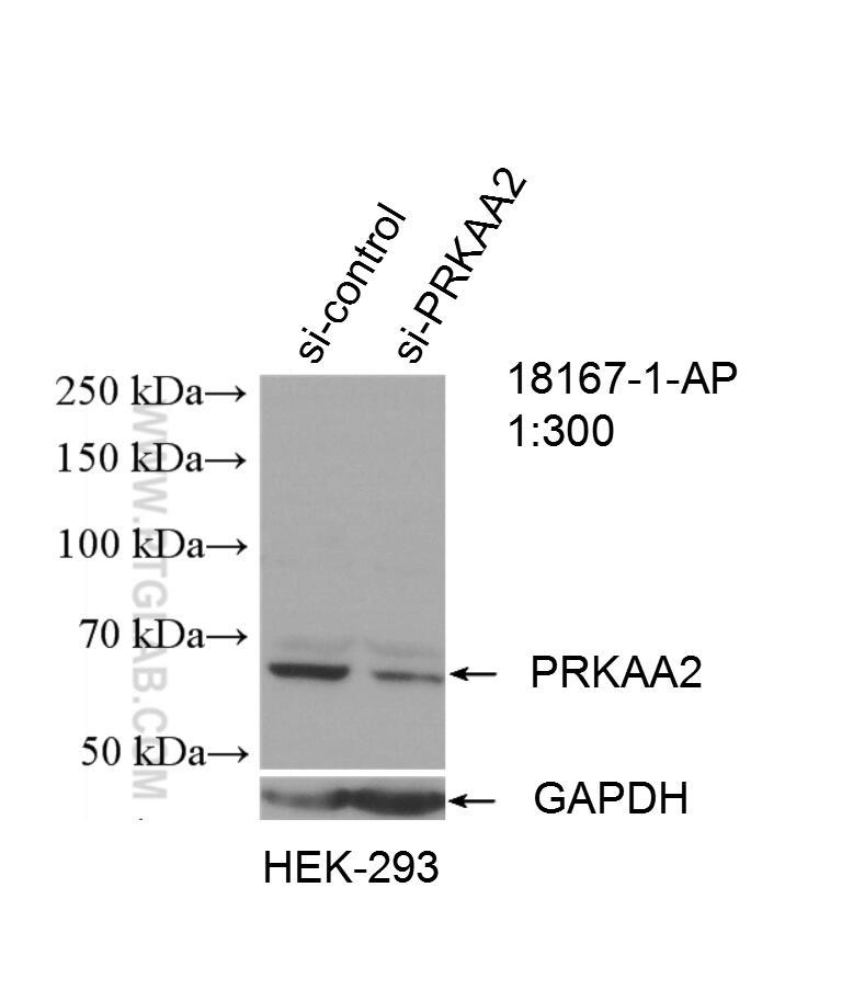 WB analysis of HEK-293 using 18167-1-AP