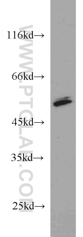 PRKAR2A Polyclonal antibody