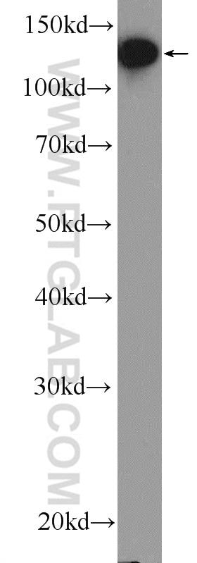 WB analysis of HEK-293 using 17392-1-AP