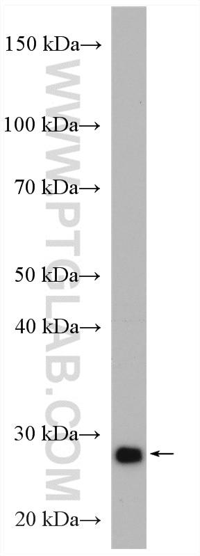 WB analysis of HepG2 using 15219-1-AP