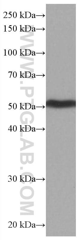 WB analysis of pig brain using 66921-1-Ig