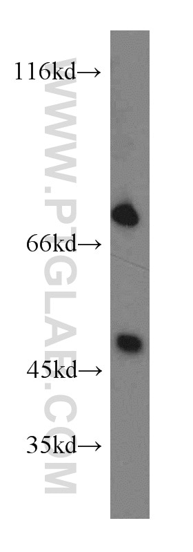 SHP2 Polyclonal antibody