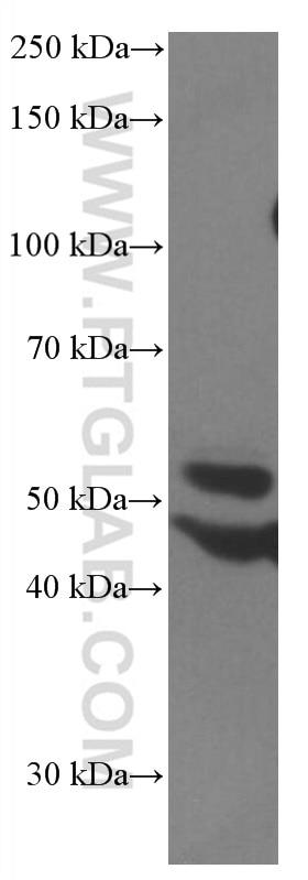WB analysis of HEK-293 using 66674-1-Ig