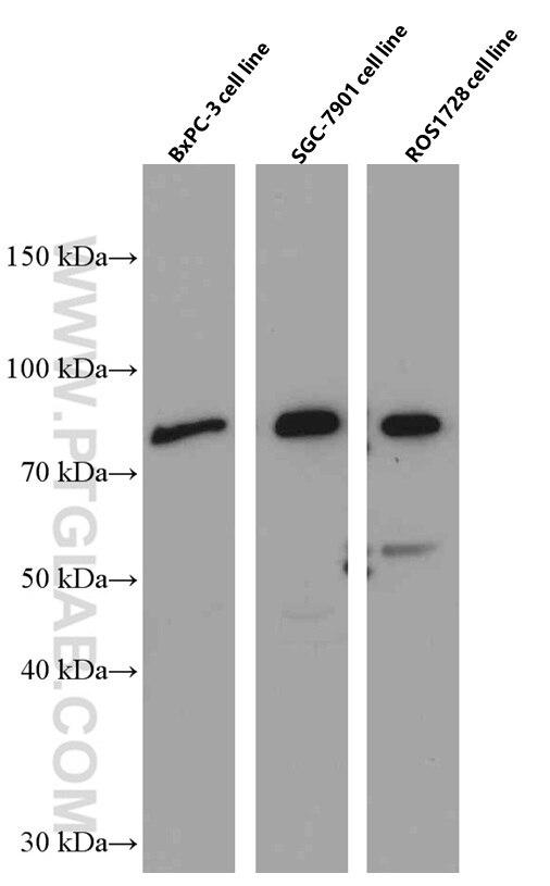 WB analysis of BxPC-3 using 66491-1-Ig