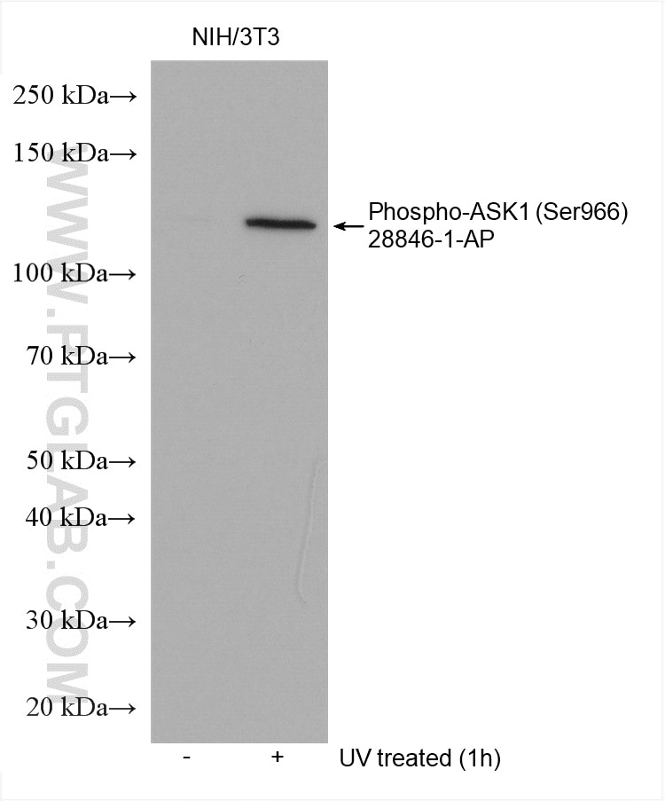 WB analysis using 28846-1-AP