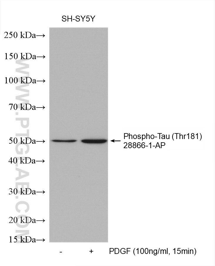 WB analysis using 28866-1-AP