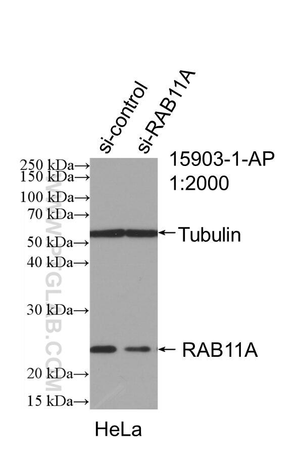 WB analysis of HeLa using 15903-1-AP