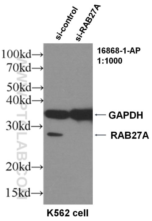 WB analysis of K562 using 16868-1-AP