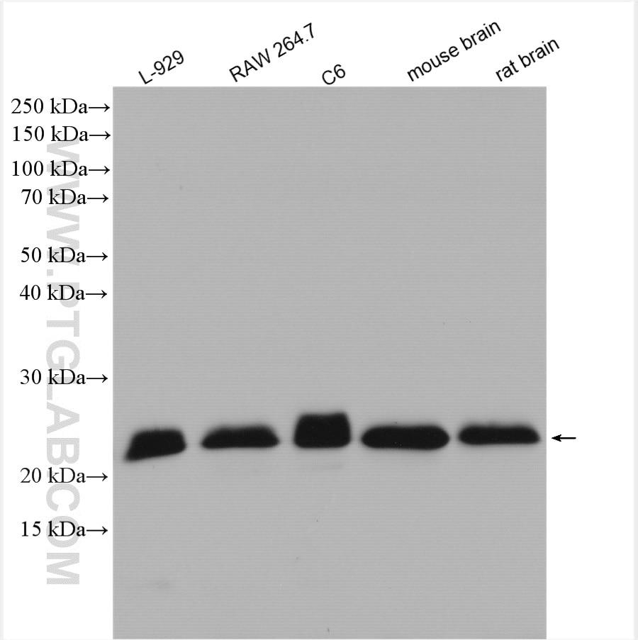 WB analysis using 55469-1-AP