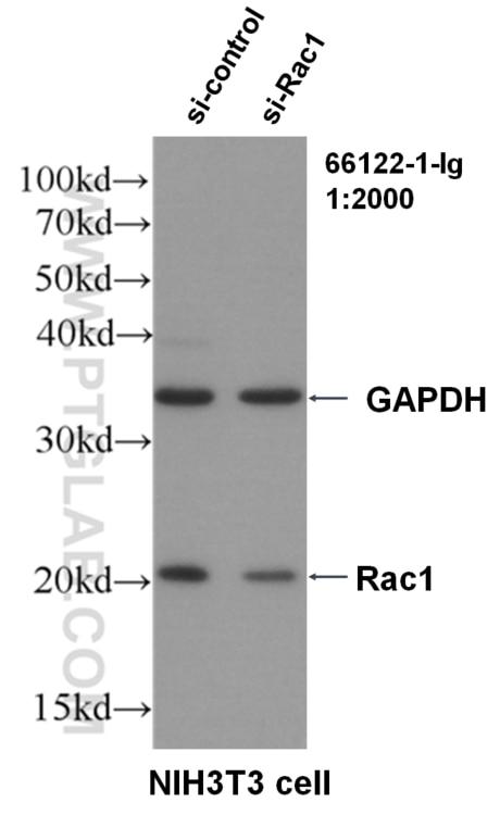 WB analysis of NIH/3T3 using 66122-1-Ig