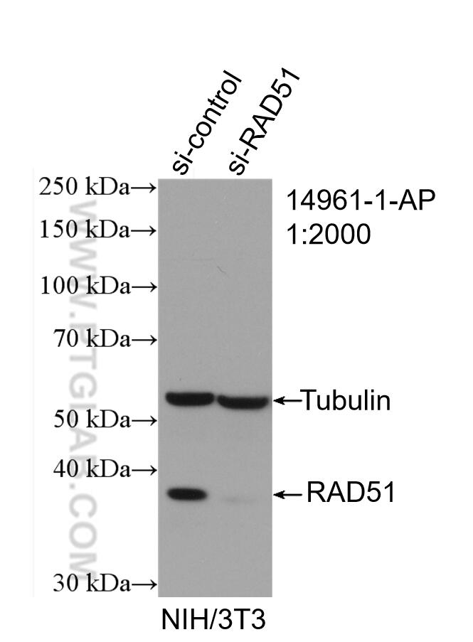 WB analysis of NIH/3T3 using 14961-1-AP