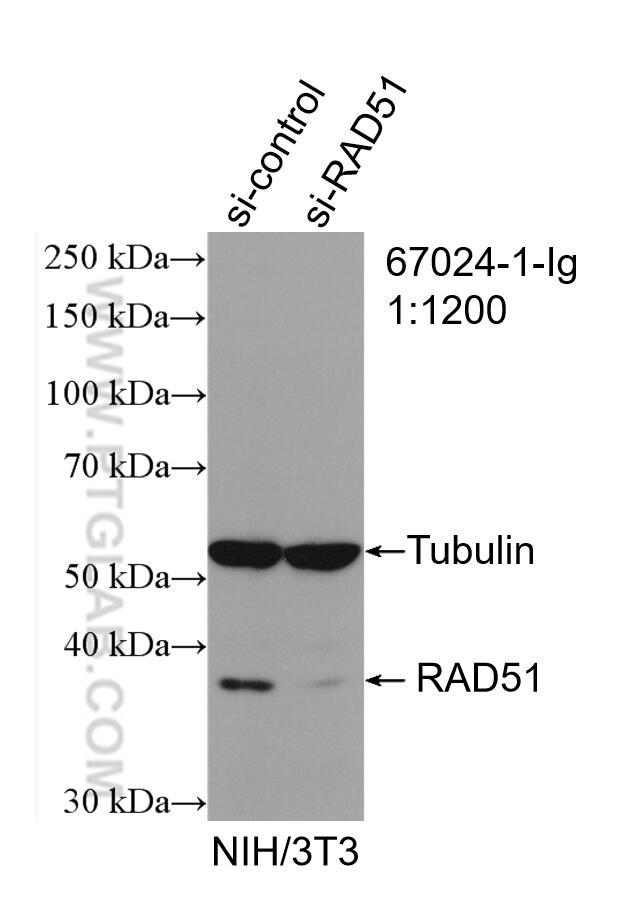 WB analysis of NIH/3T3 using 67024-1-Ig