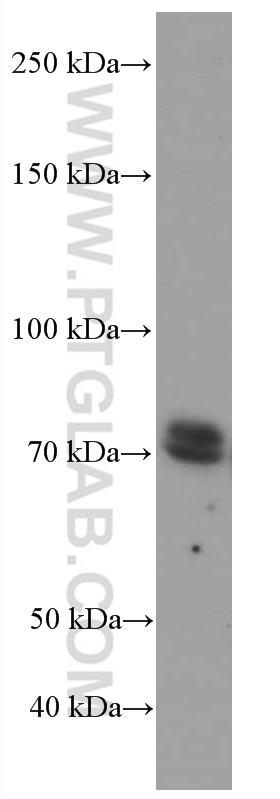 WB analysis of HEK-293 using 66592-1-Ig