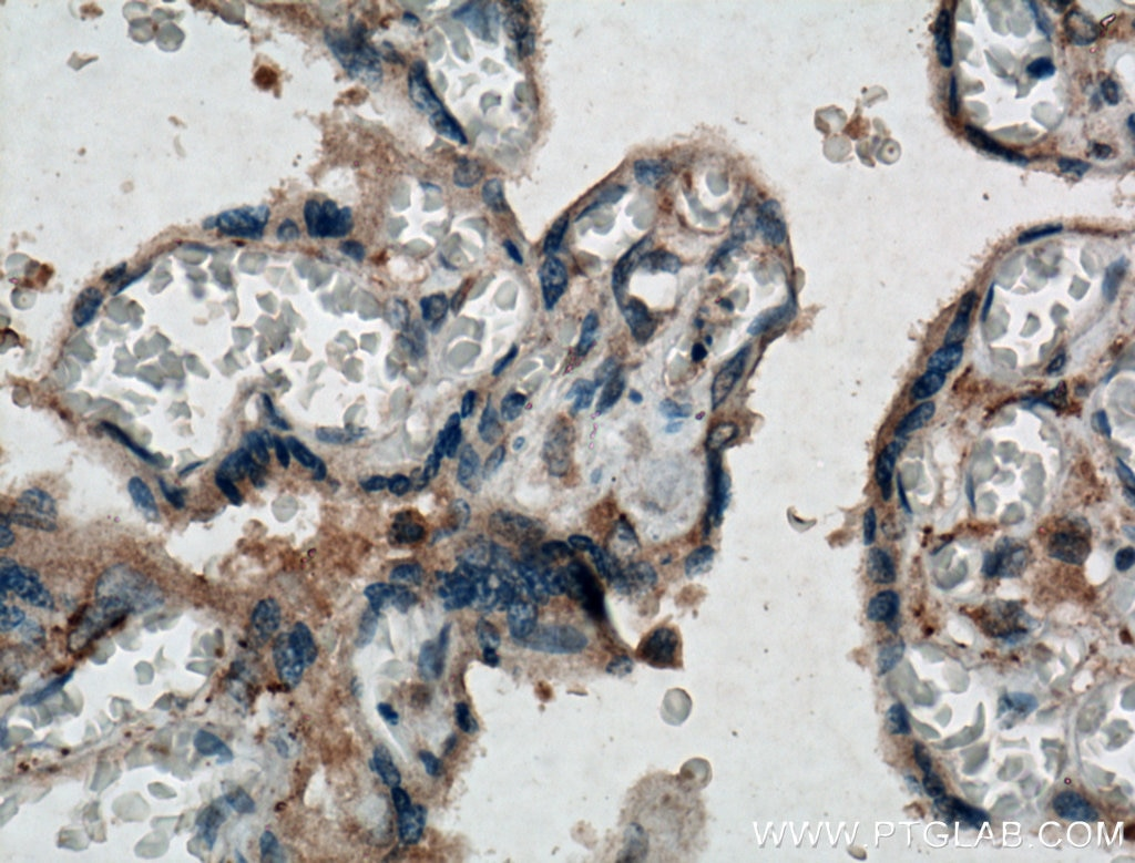 IHC staining of human placenta using 10216-1-AP