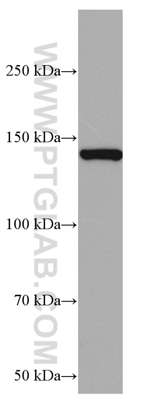 WB analysis of pig cerebellum using 67010-1-Ig