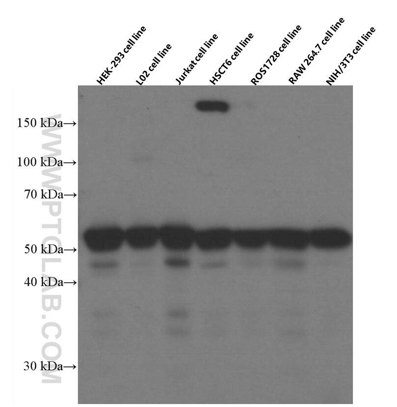WB analysis using 66060-1-Ig