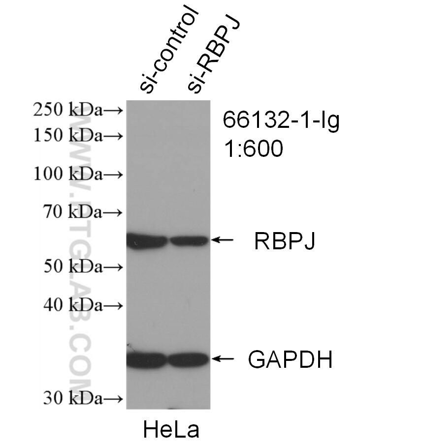 WB analysis of HeLa using 66132-1-Ig