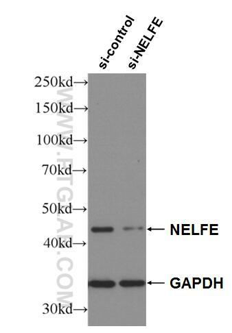WB analysis of HEK-293 using 10705-1-AP