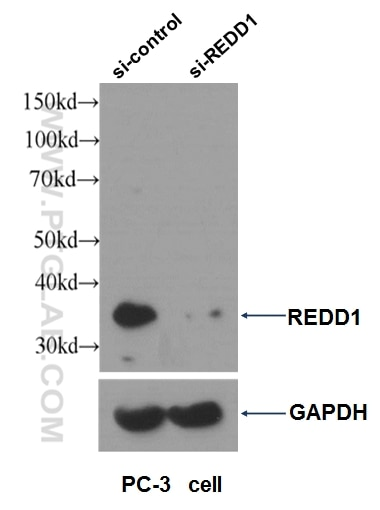 Western blot result of REDD1 antibody (10638-1- AP, 1:1000) with si-control and si-REDD1 transfected PC-3 cells