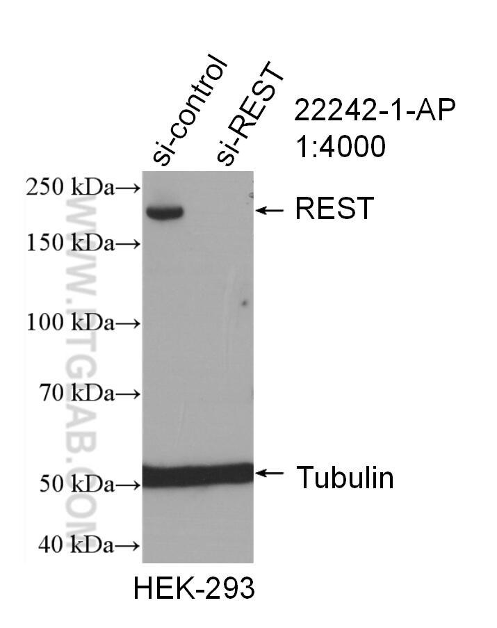 WB analysis of HEK-293 using 22242-1-AP