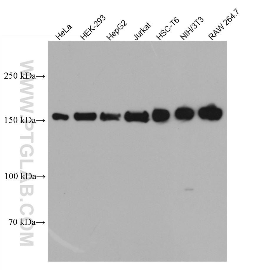 WB analysis using 66782-1-Ig
