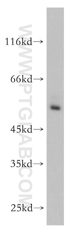 WB analysis of HEK-293 using 13205-1-AP