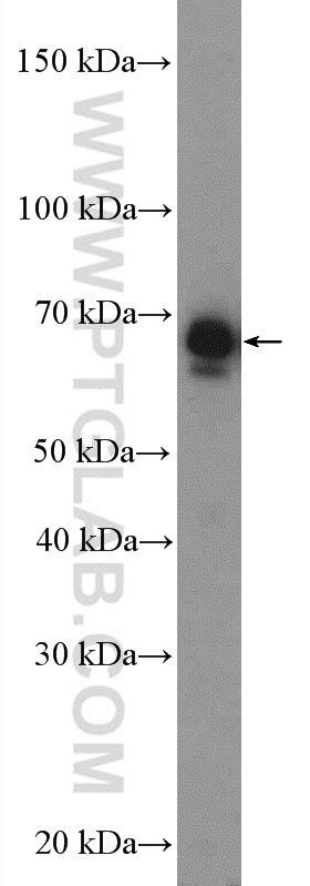 WB analysis of NIH/3T3 using 10576-1-AP