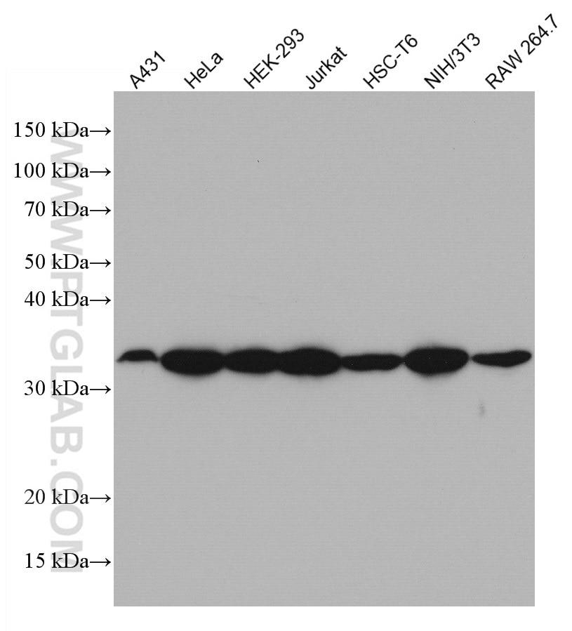 WB analysis using 66886-1-Ig