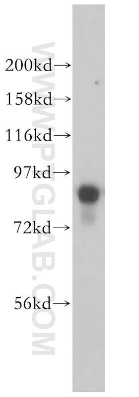 WB analysis of NIH/3T3 using 14446-1-AP