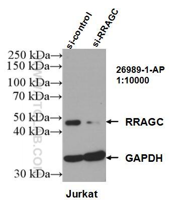 WB analysis of Jurkat using 26989-1-AP