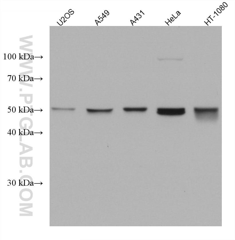 WB analysis using 67750-1-Ig