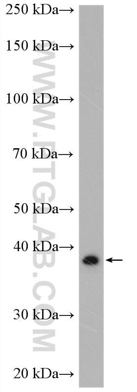 WB analysis of THP-1 using 27865-1-AP