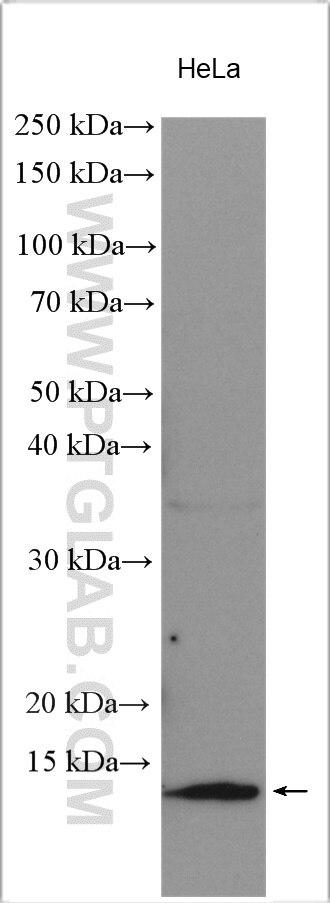WB analysis using 11250-1-AP