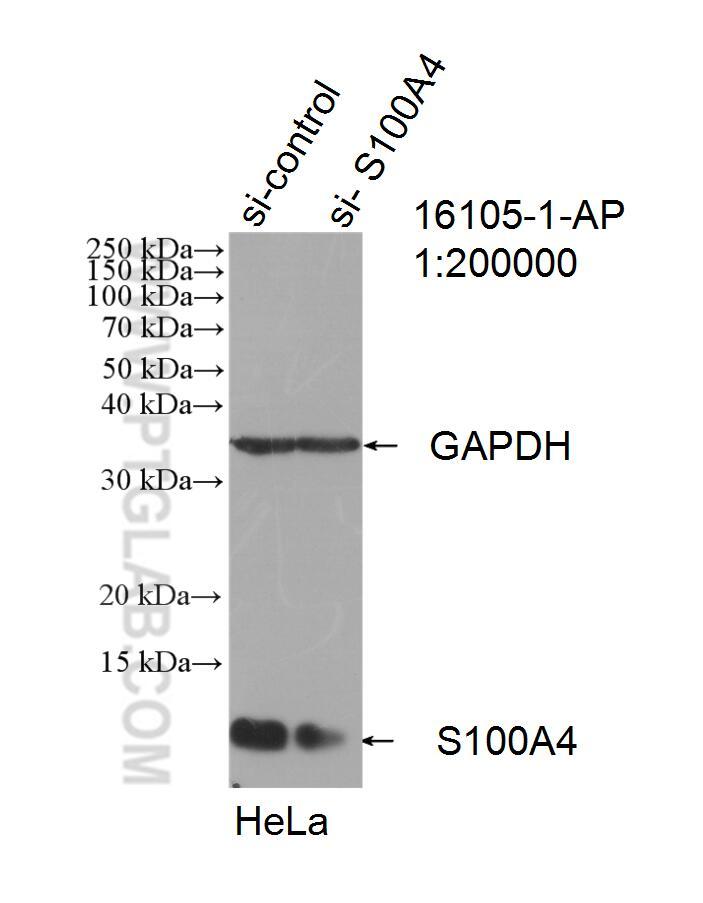 WB analysis of HeLa using 16105-1-AP