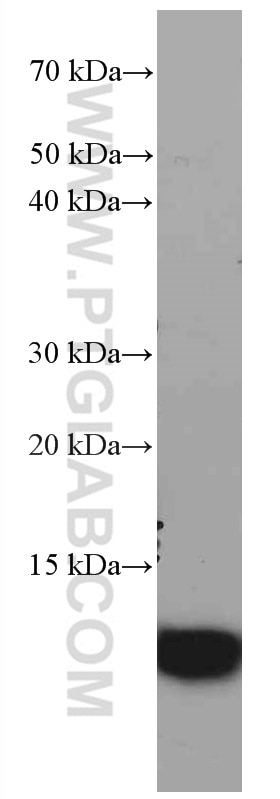 WB analysis of HeLa using 66489-1-Ig