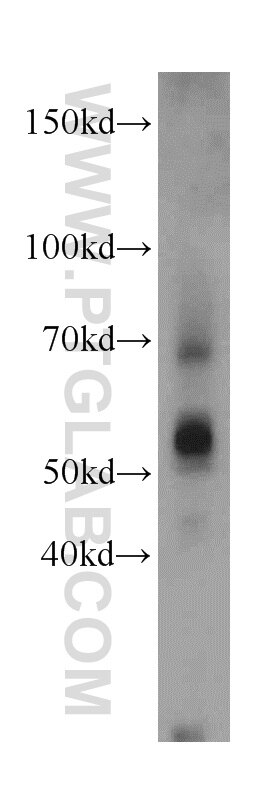 Sam50 Polyclonal antibody