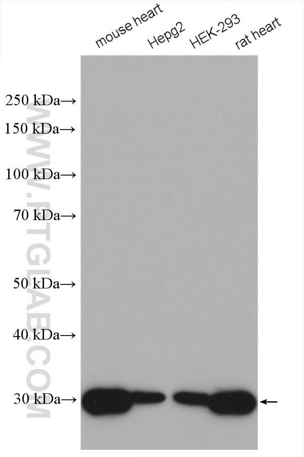 WB analysis using 10620-1-AP