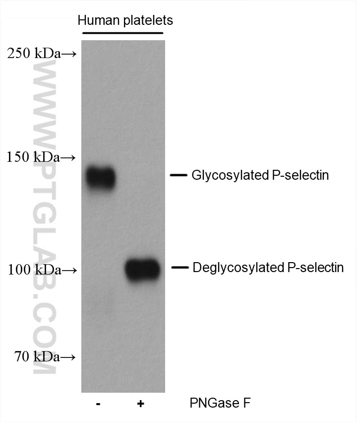 WB analysis using 60322-1-Ig