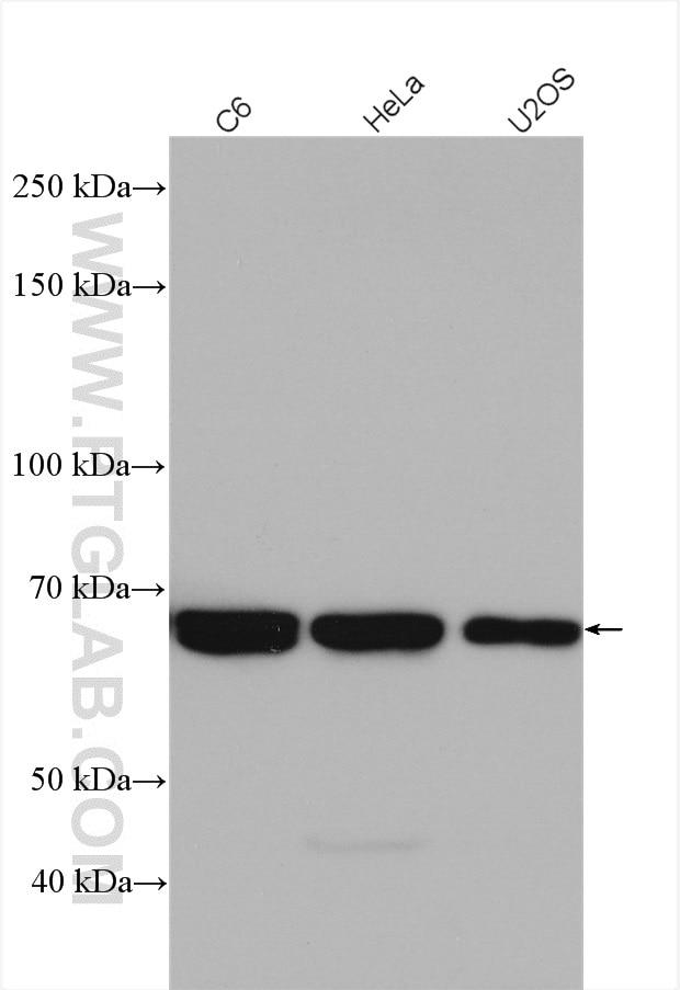 WB analysis using 10054-1-AP