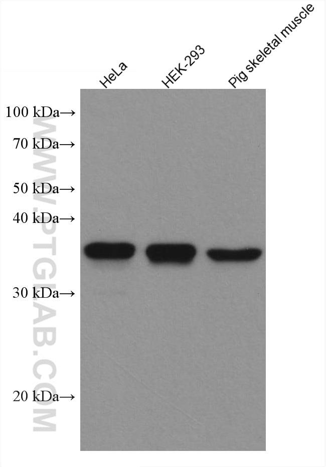 WB analysis using 67741-1-Ig