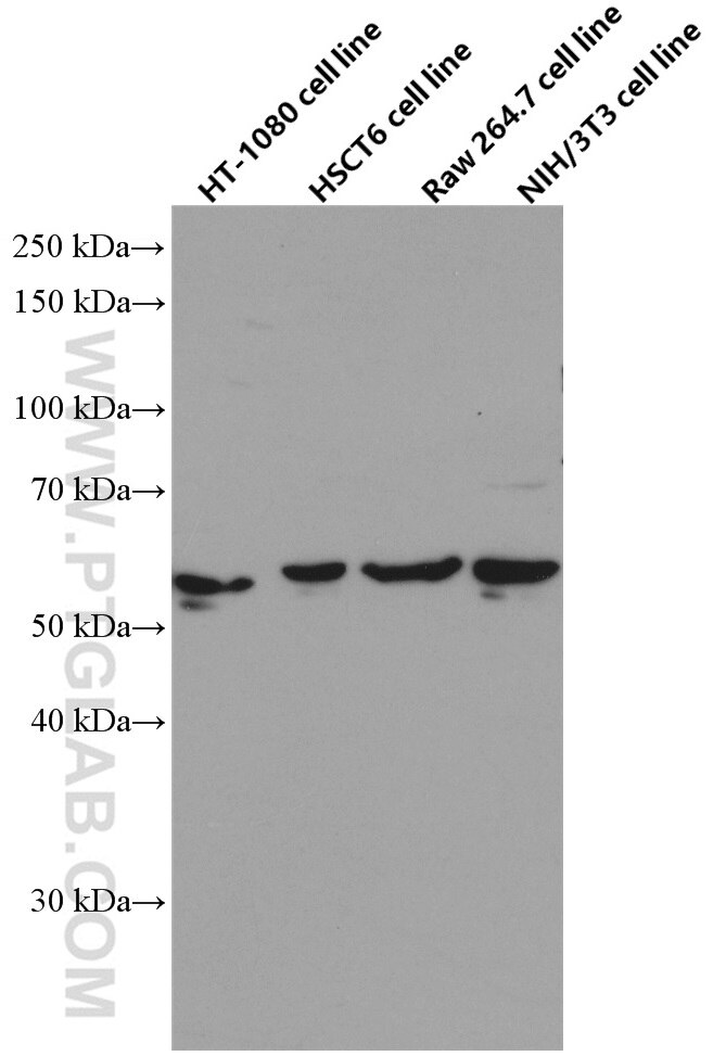 WB analysis using 66559-1-Ig